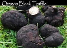 Oregon Black truffle Tuber oregonense spores spawn on a  grain mycelium