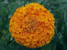 100 x MARIGOLD YELLOW LARGE  FLOWERS - Sun Dried Seeds