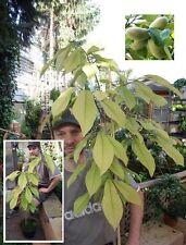 2 Indianer Bananen Pflanzen für den Steingarten Wintergarten Flur Bio Biobananen