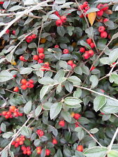 Cotoneaster franchetti– 3 Ornamental Hedging Shrub Plants in 9cm Pot