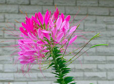Flower seed - SPIDER FLOWER MIX - Cleome spinosa