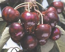 Grafted 5 Ft. Bing Cherry Tree, Fruit Trees, Cherry Trees