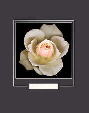 Harold Feinstein Peach Rose Poster Kunstdruck Bild 50x40cm - Kostenloser Versand