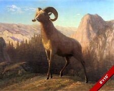 MOUNTAIN SHEEP HORNED DALL OVIS CANADA MONTANA SCENE CANVAS ART PAINTING PRINT