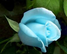 Flower seed - Light Blue rose seed