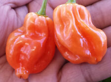 Orange Scotch Bonnet Chilli - The Rarest in the entire Scotch Bonnet Family