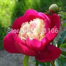 100 pcs Peony White Cap flower Seeds very rare and gorgeous