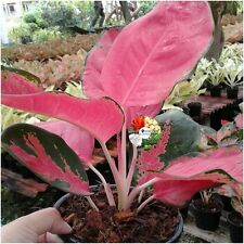 Aglaonema Plants Pink leaves, Chinese evergreens, King Of Foliage plants
