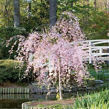 DWARF PINK WEEPING CHERRY * 2-3 FT FLOWERING ORNAMENTAL TREE NOW SHIPPING