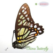 5  green unmounted butterfly Graphium chironides GUANGXI SPRING FORM A1-