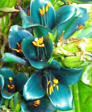 Puya Alpestris, Sapphire Tower Seeds!Intensive Blue!
