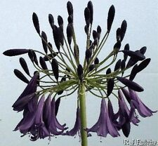 3 New Agapanthus inapertus Purple Fountain dark violet-blue garden plant