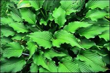 HOSTA PERMANENT WAVE  - 20 SEEDS