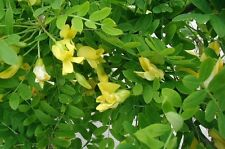 PEA TREE-CARAGANA ABORESCEN - 25 SEEDS- unique flavour