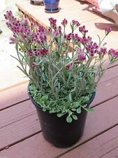 100 Pussytoes / Cats Paws, Antennaria Seeds -(New Hybrids-mix) Pink, Red ,White