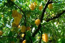 Best seeds 15 Seeds Starfruit Averrhoa Carambola fresh from grower in Thailand