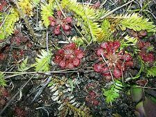 60  Capillaris Sundew drosera spathulata bog carnivorous bug cp plant live