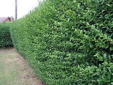50 Green Privet Hedging Ligustrum Plants Hedge 40-60cm,Grows 2 ft per year