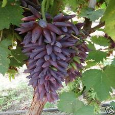 10 Seeds Witch Finger Grape Extra Super Sweet California Grape Tree Bonsai Seeds