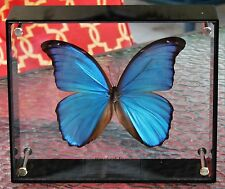 Giant Blue Morpho Morpho didus Male Spread in Acylic View Both Sides FAST USA