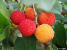 ganzjährig Erdbeeren ernten vom winterharten ERDBEERBAUM - ein Genuß !