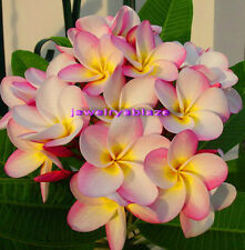 "Cutting of plumeria/Plants​/"" Chomngam"" /12-15 inches !"