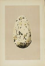 Morris 1879  British Bird Egg: Great Auk