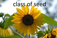 40 black sunflower seeds cracking little plants to grow
