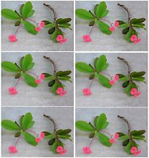 "12 Organic Plant Cuttings/ 5-6"" Euphorbia Milii (Crown of Thorns) Succulents"