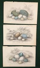 3x Antique 1839 Jardine Hand Coloured Prints Bird Eggs By Lizars Ornithology