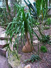 Beaucarnea recurvata - Pony Tail Palm - 25 Seeds