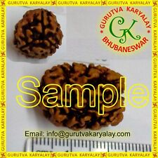 Mantra Siddha Natural Teen Mukhi-Three Face Rudraksh 21-23MM ~ 3 Pcs Seller Pack