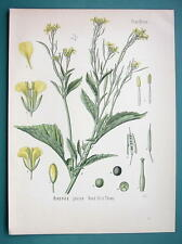 INDIAN MUSTARD Medicinal Plant Brassica Juncea - Beautiful COLOR Botanical Print