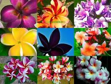 "Fresh !Plumeria/Frangipani/Flowers/Plants/""Mixed 9 Type""/ 50 Seeds!"