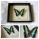 Real Sarpedon Butterfly Hand Set and Framed in UK Beautiful Gift - Taxidermy