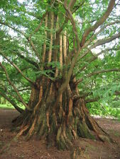 100 X Dawn Redwood árbol Semillas (Metasequoia glyptostroboides) tres semillas.