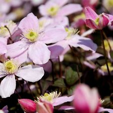 FlOWER - CLEMATIS MONTANA - PERFUMED FORMS - 25 SEEDS