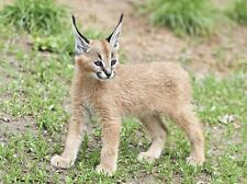 Caracal African Small Cat Wild Animal Art Poster 20'' x 15''