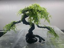 Premium Bonsai Moss aquarium tree for planted tank live plant fish shrimp tank
