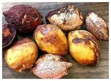 TERMINALIA CATAPPA SEED INDIAN ALMOND TREE Stunning 5 seed