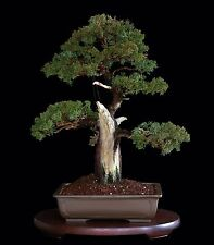 "BONSAI TREE GRAFTED KISHU SHIMPAKU with THICK 3.5"" TRUNK in TOKONAME POT"