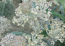 Asclepias eriocarpa INDIAN MILKWEED 25 seeds CA Monarch native hostplant