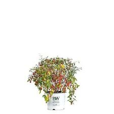 Sweet Lifeberry Goji Berry Live Shrub Purple Flowers and Red Fruit 3 Gallon NEW