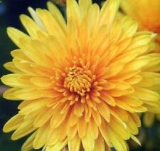 YELLOW CHRYSANTHEMUM Morifolium Flower Seeds  (20Seeds)  F-076