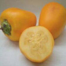 Solanum sessiliflorum / topiro 'Yellow Giant', Orinoko Apfel, Cocona, 10 Samen