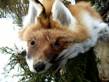 REAL WILD FOX FUR PELT MOUNTABLE  SKIN with claws TAXIDERMY