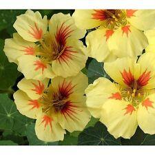 30 Graines de Capucine TROPAEOLUM PEACH MELBA / Fleur JAUNE
