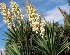 Yucca Plants SoapWeed White Flowers Desert Blooming Lot Of 6 18-20 Inches Tall