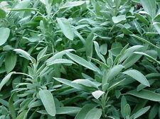 Sage- Broadleaf-(Salvia Officinalis)- 100 Seeds
