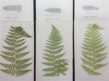 Botanical, DICKSONIA CICUTARIA & VARIOUS, FERNS by LOWE c1859 Antique original